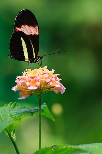Butterfly by Anne McKinnell.