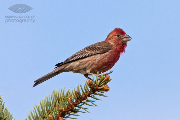 House Finch perched on a spruce tree branch: Canon 5D Mark II, Canon 500mm F4L IS lens, 1.4x Extender II and 2.0x Extender II @1400mm, 1/400th of a second at F10, ISO 800, Gitzo 3541 Tripod with Jobu Design BWG-Pro gimbal head