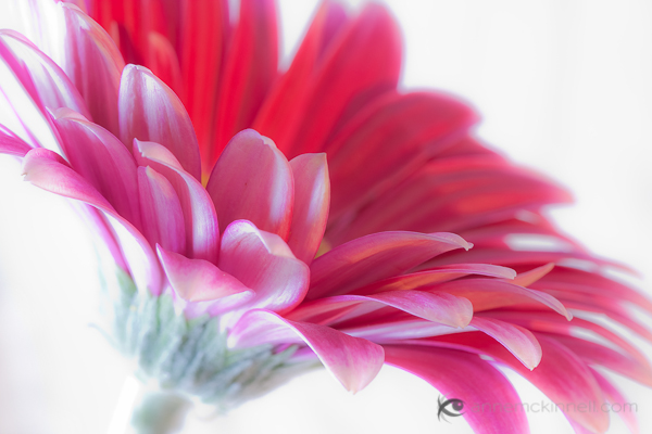 Gerbera by Anne McKinnell