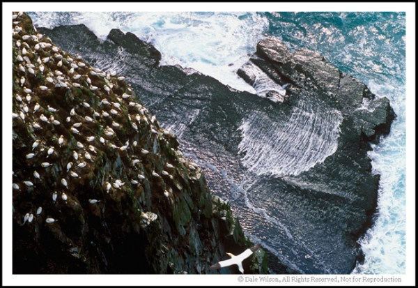 With 20,000 nesting pairs of gannets, Cape St. Mary's is the second largest rookery in Canada. Quebec's Bonaventure Island is the largest with around 50,000 pair.
