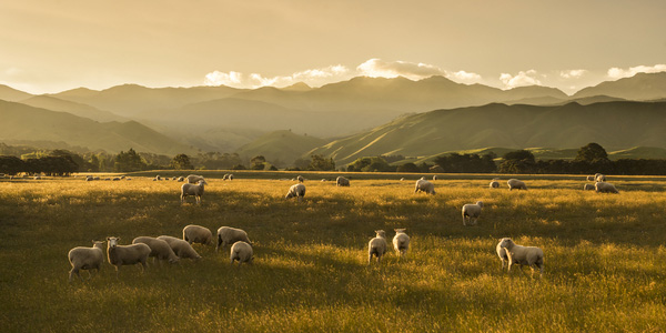 NZ WR Sunset Sheep