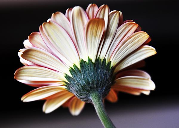 dPS Flowers-001
