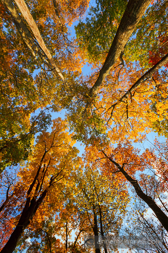 Fall Trees by Anne McKinnell