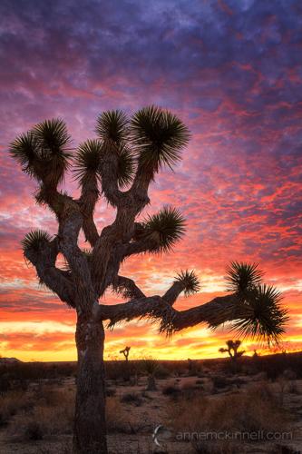 Joshua Tree National Park, California, by Anne McKinnell