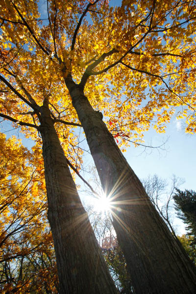 McEnaney sunflare two trees