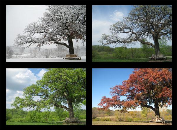 McEnaney oak seasons