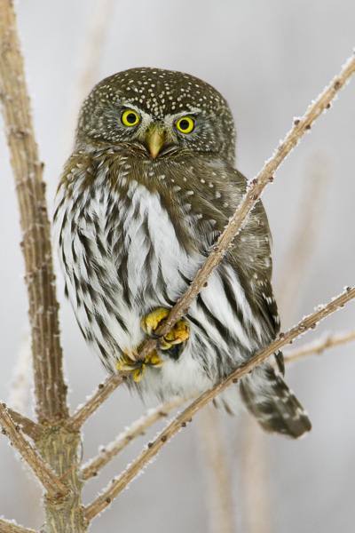 © Paul Burwell Photography - Northern-Pygmy Owl looking frosty