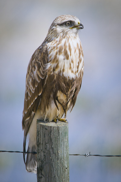 Rough-legged Hawk looking away from the viewer