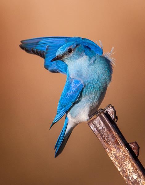 Mountain Bluebird posing pretty