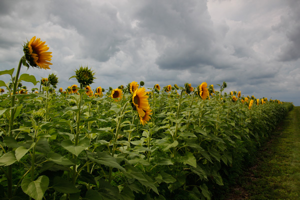 sunflowers, field, flowers, nature, clouds, storm, photography, CanonT1i