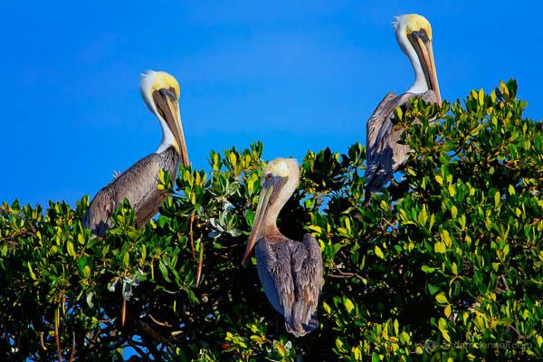 Three Brown Pelicans by Anne McKinnell