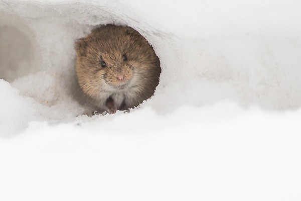 Northern Red-backed Vole - © Paul Burwell Photography