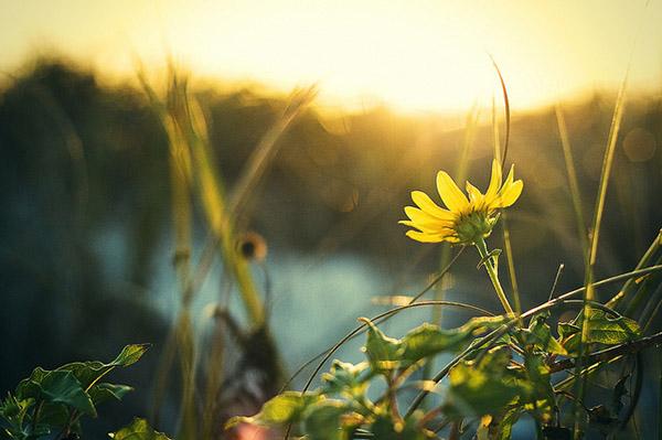 sunflower sunrise photography