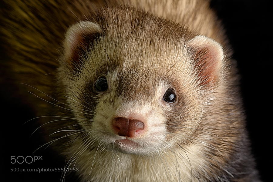 Photograph Ferret by Mark Johnson on 500px