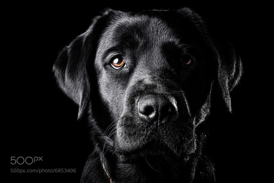 Photograph Black Lab by Oszkár Dániel Gáti on 500px