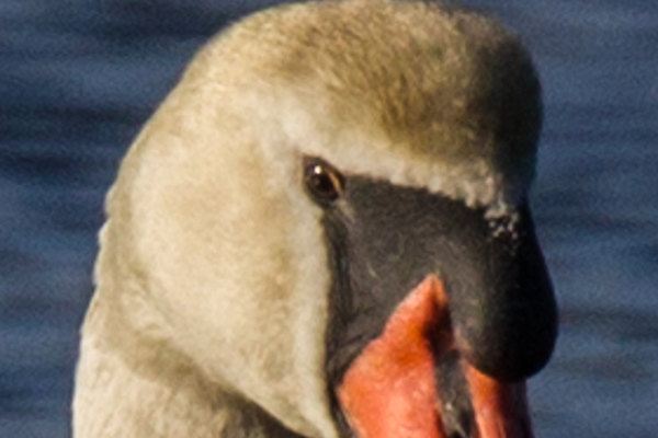 Same image cropped to show head detail - crop size 280 x 187 pixels then zoomed to 600 pixels (Greater than 2X magnification)