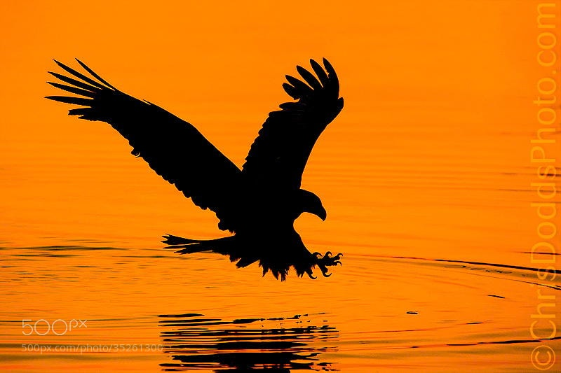 Photograph Bald Eagle Silhouette by Christopher Dodds on 500px