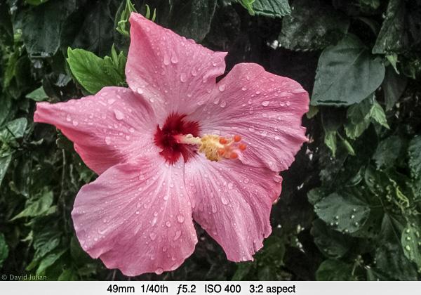DJulian Pink Hibiscus