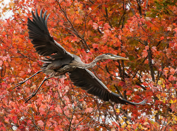 flying heron in fall