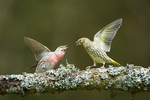 Red Poll and Siskin Fight