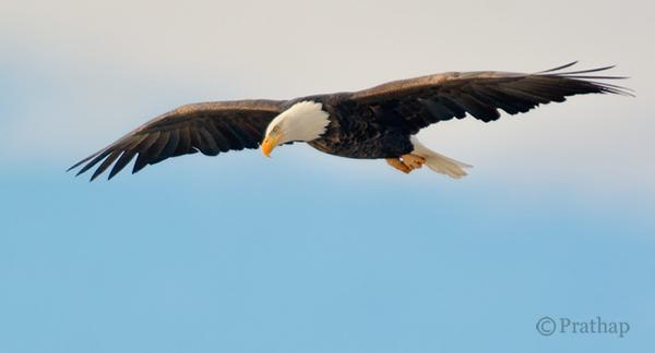 Nature Photography Simplified Bird Photography Bald Eagle Flight