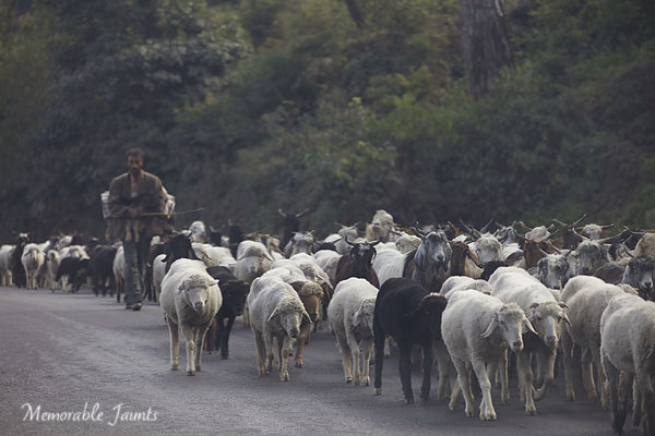 Photographing From The Hip Sheep Herder Walking With Flock of Sheep By Memorable Jaunts