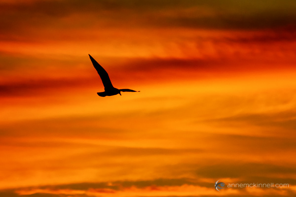 Seagull In Flight at Sunset by Anne McKinnell