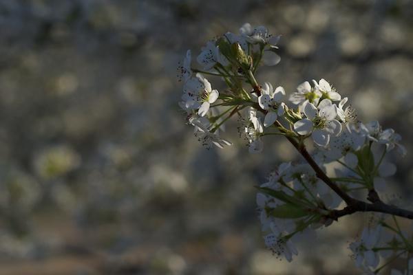 Tree flowers original