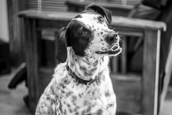 english setter, helios 44-2 lens,