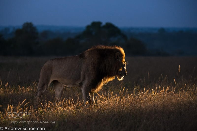 Photograph Morning Lion by Andrew Schoeman on 500px
