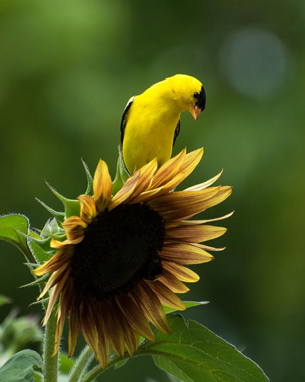 Esta imagem capturada com uma distância focal de 300 mm e F / produziu um DOF muito raso. Devido a este DOF muito raso, é importante estabelecer o ponto focal no olho. Observe como o pássaro parece emergir do fundo.