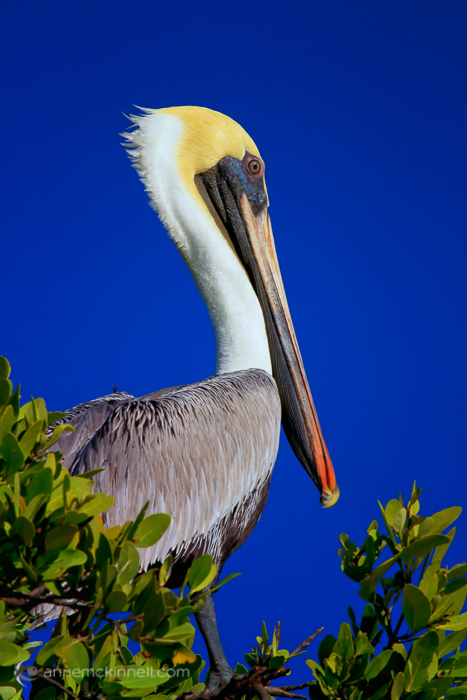 sharp pelican without blur
