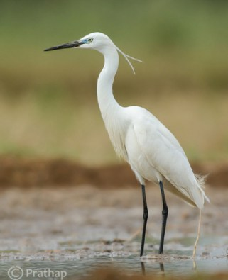 2-Nature-Photography-Simplified-Bird-Photography-Post-Processing-Tips-Little-Egret