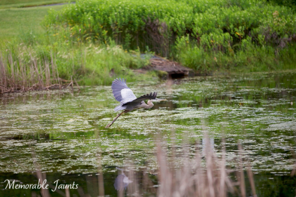Great Grey Heron in Flight Bird Photography Memorable Jaunts Lifestyle Photographer Naperville Illinois