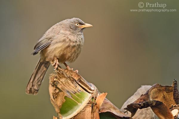 3 Selva Babbler Profundidad de campo Bharatpur Bird Sanctuary Parque Nacional Keoladeo Naturaleza Fauna silvestre Fotografía Pájaro Prathap