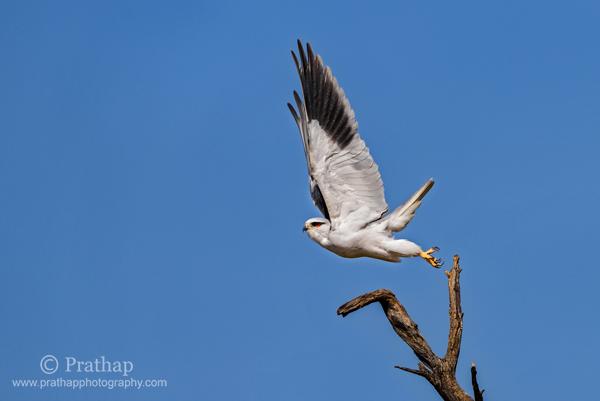5 Cometa de cola blanca que despega en el santuario de aves Bharatpur Parque Nacional de Keoladeo Mejor santuario de aves Fotografía de aves de naturaleza salvaje de Rajasthan por Prathap