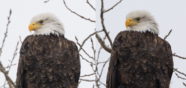 Image of Eagle on left was captured at 600mm and image on right was captured at 450mm. Image on right has a little more detail in the feathers.