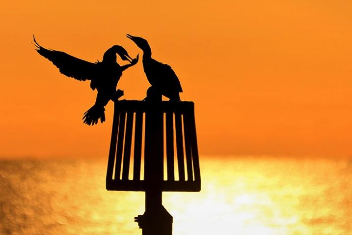 Cormorants750