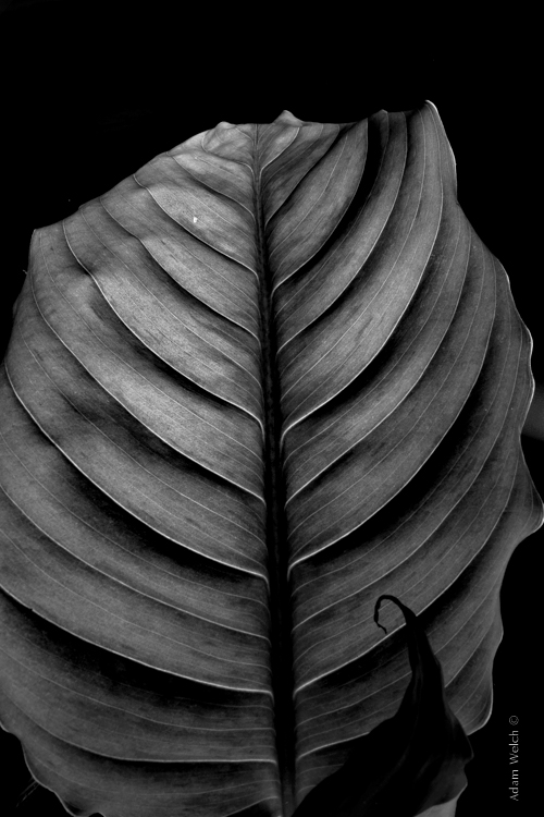 4 tips to help you decide between black and white or color for youri used a single flash behind the leaf to really bring out the contrasts within ordinarily these details might have gone unnoticed, and the black and white