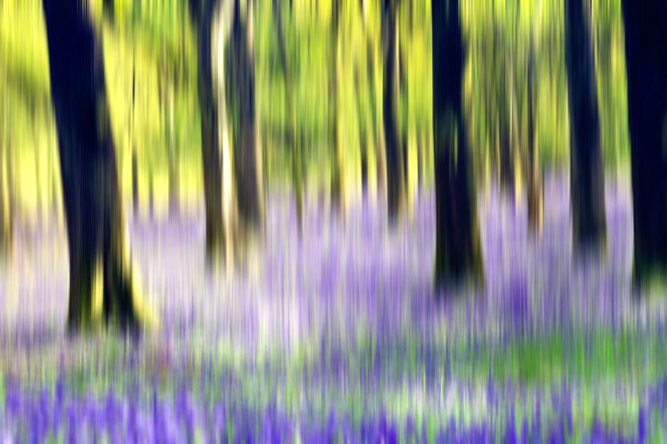 Bluebellwoodsblur750