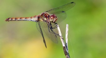10 Tips for Photographing Dragonflies
