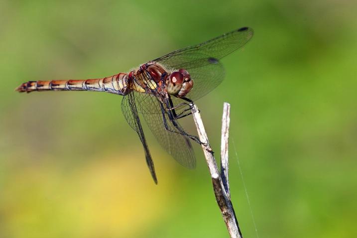 HhhdragonflyDPS