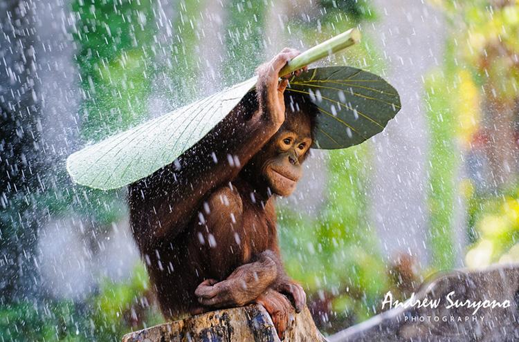 Image 2 andrew suryono orangutan in the rain