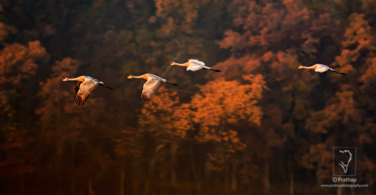 Sandhill Crane Family Flying on a Beautiful Autumn Morning in Jasper-Pulaski Fish and Wildlife Area in Medaryville in northwestern Indiana. Every year around 10,000 Sandhill Cranes migrate to this location during Autumn. The calls of thousands of Sandhill Cranes that reaches several miles is an experience that is next to none. It is one of the best locations to photograph them as they fly past the Autumn trees at the Sunrise to feed in the close by farms.