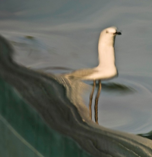 2 Reflection Seagull by Eva Polak