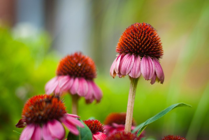 3-tips-flower-photos-coneflower