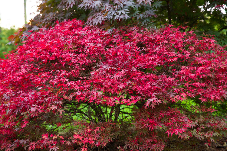 Japanese maple colors