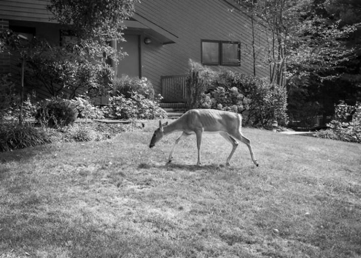 Deer, Backyard, New Jersey by Neil Persh