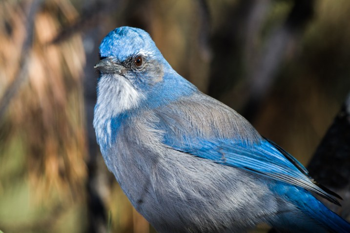 A Western Scrub Jay perches in a tree in the foothills of the Rocky Mountains outside Denver, CO, USA.