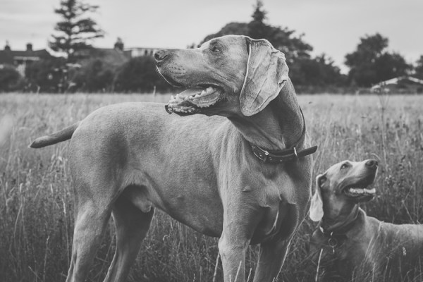 Pros and Cons of Photographing Dogs with a Prime Lens